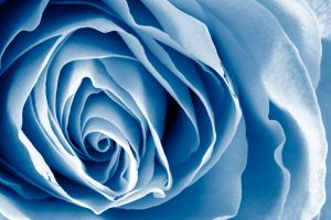 stockvault-blue-rose---hdr141310