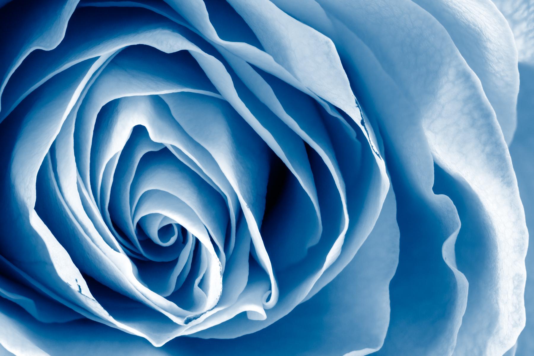stockvault-blue-rose---hdr141310