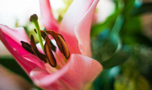 detail-of-pink-lily-picjumbo-com