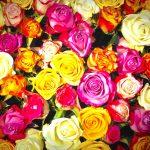 roses-1229148_1920-%e3%81%ae%e3%82%b3%e3%83%92%e3%82%9a%e3%83%bc