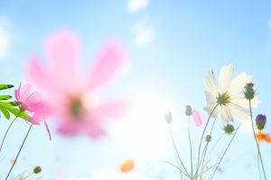 Soft focus of cosmos flowers on sunlight and clear blue sky.