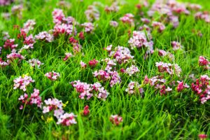Wild plant of pink flowers at highland meadow